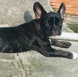 Bulldog Francês Fêmea, parcelo no cartão ou facilito