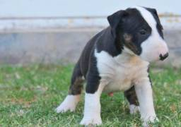 Bull Terrier Inglês - * Venâncio