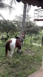Vendo Pordo Paint Horse, 1° muda