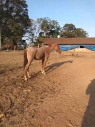 Cavalo rosil manso de criança