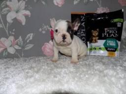 Título do anúncio: Bulldog Inglês branco/malhado/vermelho/red brindle, com garantias genéticas e suporte vet!