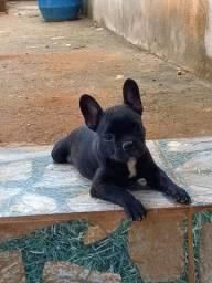 Título do anúncio: Bulldogue francês Macho 1.300