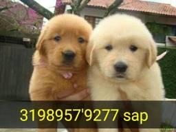 Título do anúncio: Golden Retriever com pedigree