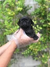 Título do anúncio: Pug // Filhotes de Pug