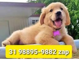 Título do anúncio: Canil Filhotes Lindos Cães BH Golden Akita Pastor Labrador Dálmata Boxer