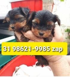 Título do anúncio: Canil Filhotes Cães Líder BH Yorkshire Basset Lhasa Beagle Maltês Shihtzu