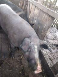 Título do anúncio: Vendo porco cachaço ... 10 reais o kg