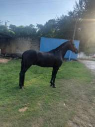 Cavalo Mangalarga Marchador Pre Registro