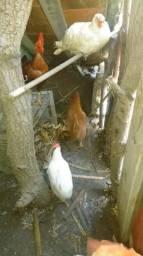 Vendo 1galo,4 galinhas e 1 pato