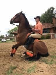Cavalo Lusitano Adestrado e Registrado - Galego do Interagro