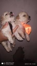 Filhotes de Poodle Macho disponível