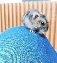 Hamster fêmea