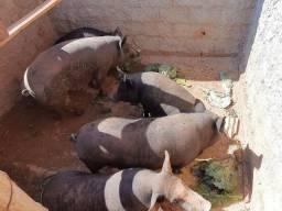 Porcos à venda