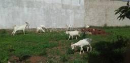 Título do anúncio: vendo um rebanho de cabras
