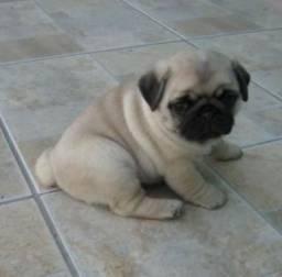 Porte pequeno Pug filhote com Pedigree e garantia de saúde