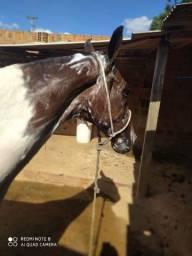 Cavalo pampa de castanho!!