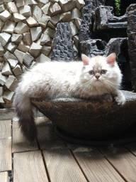 Título do anúncio: OPORTUNIDADE: Lindo filhote de gato Persa