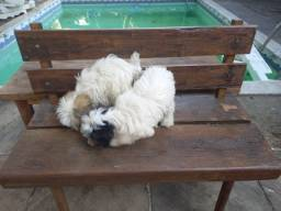Cão de Crista chinês peludo