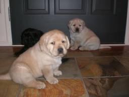 Título do anúncio: Labrador - disponiveis!!!!