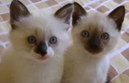 Procuro Filhote de Gato Siamês