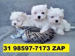 Canil Filhotes Cães Top BH Maltês Lhasa Yorkshire Shihtzu Beagle Basset Poodle