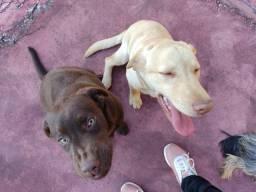 Cães labradores