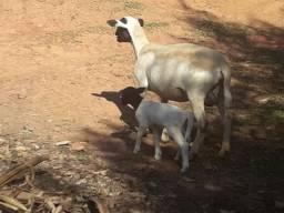 1 Carneiro + 2 Ovelhas Matrizes Dorper + Filhote - Ovinos