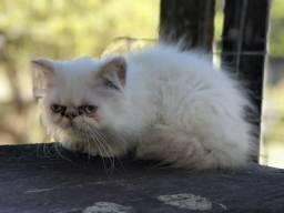 Vendo filhotes de gatos persas e exóticos