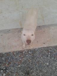 Estou vendendo filhotes de pitbull  zp *