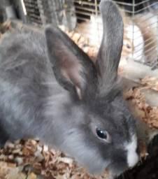 Título do anúncio: Vendo ou troco coelhos aldutos
