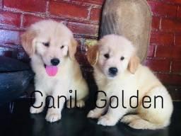 Filhotes de Golden Retriever Com Pedigree Microchip