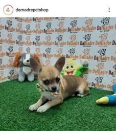 Título do anúncio: Chihuahua com Procedência- entregamos!