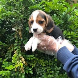 Beagle - Filhotes Amigável e Lindo