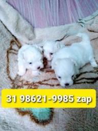 Título do anúncio: Canil Filhotes Cães Selecionados BH Maltês Lhasa Basset Beagle Yorkshire Poodle Pug