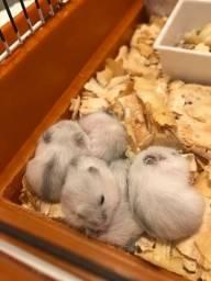 Filhote de hamster BRANCO