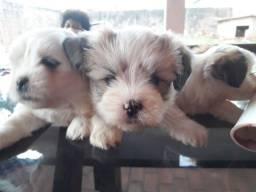 -lhasa apso filhotes
