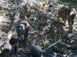 Título do anúncio: Vendo porcos novo