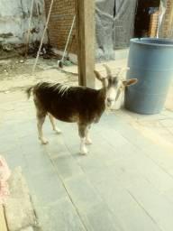 Título do anúncio: Vende se uma cabra