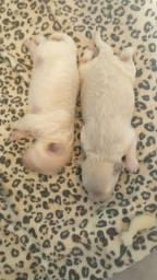 Título do anúncio: Vendo Filhote de poodle 1 mãe com poodle micro toy paí