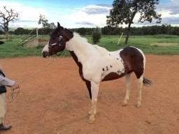 Garanhão Paint Horse Homozigoto PO Registrado
