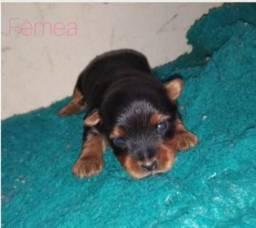 Yorkshire Terrier tamanho mini