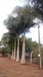 Vendo palmeira imperial