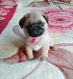 Fêmeas de Pug com pedigree CBKC disponível