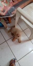 Título do anúncio: Poodle Toy 450 reais