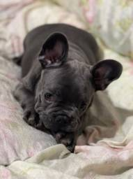 Título do anúncio: Filhote de Bulldog Francês<br>Linhagem importada