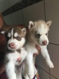 Título do anúncio: Filhotes de husky siberiano