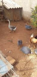 Título do anúncio: galinha caipira, ganço, galinha de angola e pato