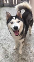Husky Siberiano Puro, 04 anos, Macho, Disponível para cruzar com fêmeas