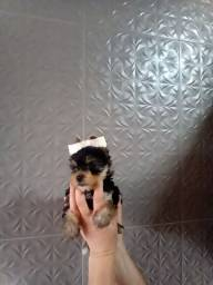 Título do anúncio: Yorkshire terrier micro