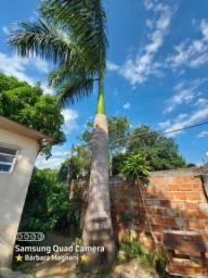 Palmeira imperial 10m